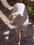 Piglet Stock Image
