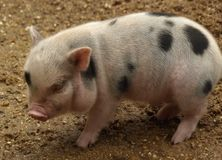 Piglet. Small piglet standing on the ground royalty free stock photo