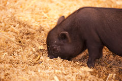 Piglet Royalty Free Stock Photos