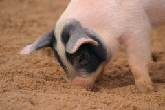 Piglet Stock Photography