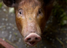 Piglet. Looking up stock image