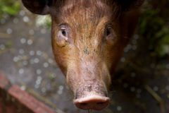 Piglet. Looking up stock photography