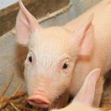 Piglet. Small and funny pink piglet in pen stock image