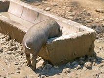 Free Piglet Stock Photos - 54901463