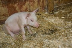 Piglet. A Small cute pink and white piglet stock image