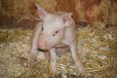 Piglet. A Small cute pink and white piglet Royalty Free Stock Image