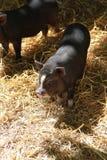 piglet Royaltyfria Bilder