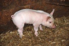 Piglet Royalty Free Stock Photos