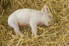 Piglet. (Sus scrofa domesticus) sleeping in straw stock photography