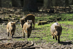 Piglet activity. Beautiful wild boars (Sus Scrofa) in national park Het Aardhuis at the Hoge Veluwe in the Netherlands royalty free stock image