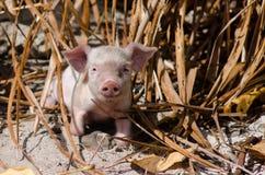 Piglet - Aitutaki Lagoon Cook Islands Stock Images