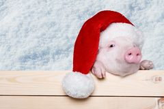 Piglet. Animals pig head isolated tree snout royalty free stock photo
