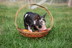Piglet in a basket Royalty Free Stock Image