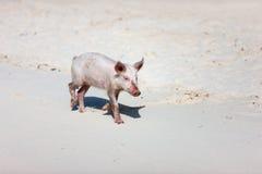 Piglet at beach Stock Image