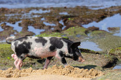 Piglet at beach Stock Photography