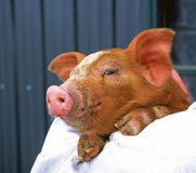 Piglet being held by a farmer Royalty Free Stock Image