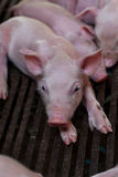 Piglet birth day after the mother pig feeding finished. Stock Images