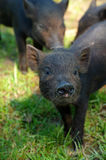 Piglet black Royalty Free Stock Image