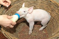 Piglet Bottle Feed. Small Baby Piglet Feeding From Milk Bottle royalty free stock photography