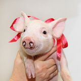 Piglet with bow Stock Images