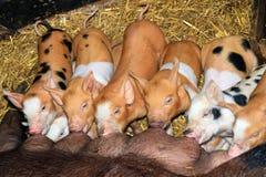 Piglet breakfast Stock Images