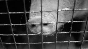 Piglet in cage. Piglet nose behind the fence stock video