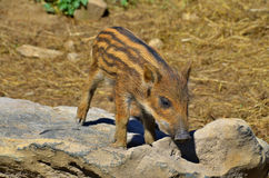 Piglet. Common wild boar piglet ( marcassin Stock Photography