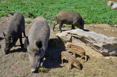 Piglet. Common wild boar piglet ( marcassin Royalty Free Stock Images