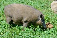Piglet. Common wild boar piglet ( marcassin Royalty Free Stock Photos