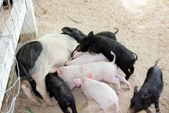 Piglet is eating breast milk royalty free stock photography