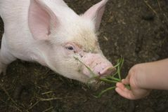 Piglet eating grass Royalty Free Stock Photography