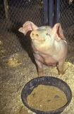 Piglet eating, Los Angeles County Fair, Pomona, CA royalty free stock images