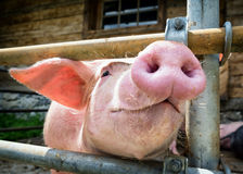 Piglet. At a farm - closeup royalty free stock images