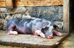 Piglet. At a farm - closeup royalty free stock photos