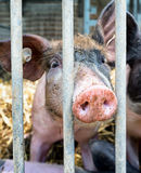 Piglet. At a farm - closeup royalty free stock photography
