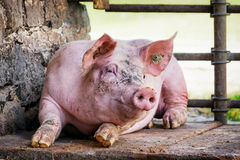 Piglet Royalty Free Stock Images