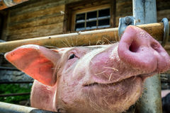 Piglet. At a farm - closeup stock images