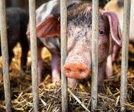 Piglet. At a farm - closeup Stock Photo