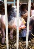 Piglet. At a farm - closeup royalty free stock image