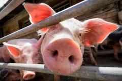 Piglet. At a farm - closeup stock photography