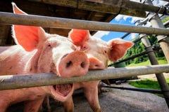 Piglet. At a farm - closeup royalty free stock photo