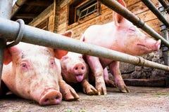 Piglet. At a farm - closeup stock photos