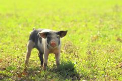 Piglet on farm. Funny pose royalty free stock photography