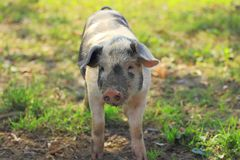Piglet on farm. Funny pose royalty free stock photo