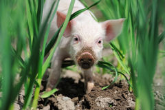 Piglet on farm Stock Photography