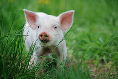 Piglet on farm. Piglet on spring green grass on a farm stock photo