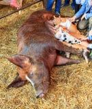 Piglet feeding Royalty Free Stock Photo
