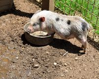 Piglet feeding at a petting zoo Stock Photo