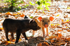 Piglet friends Royalty Free Stock Photo