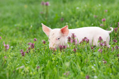 Piglet on grass royalty free stock photography
